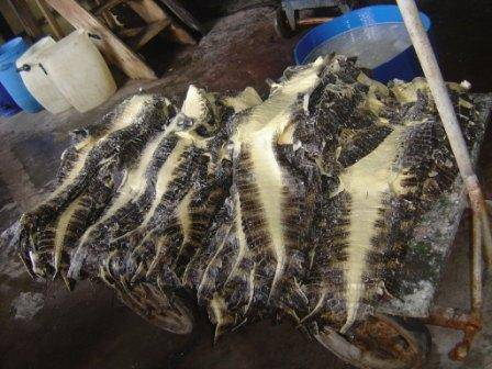 CAIMAN CROCODILUS FUSCUS ), avaliable Salted Skin in crust or finishing leather.