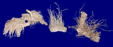 bamboo root