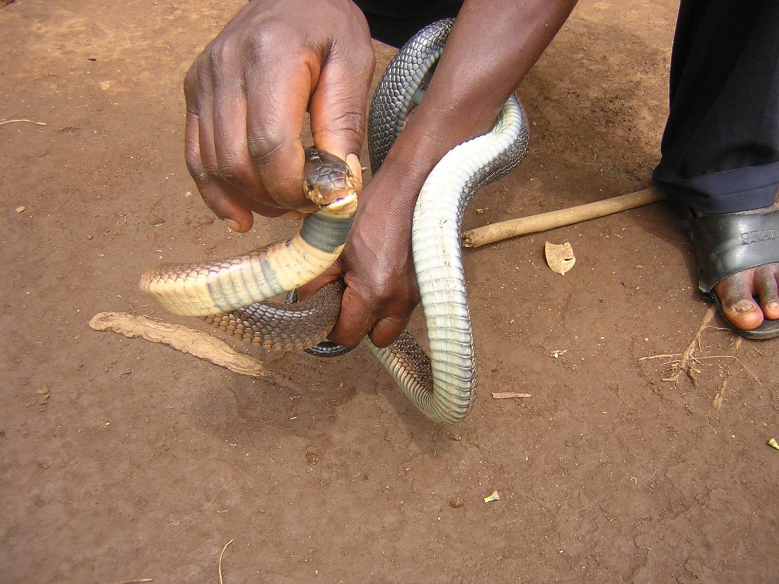 naja meleunoca(forest cobra)