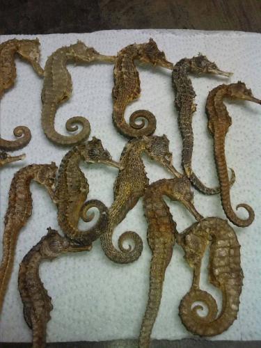 hippocampus dry sea horse