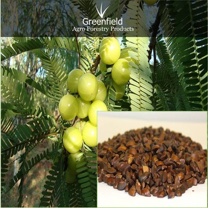 Aonla fruits tree Seeds ( Emblica Officinalis )