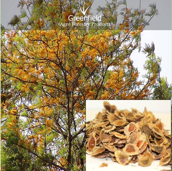 Silver Oak Ornamental Tree seeds ( Grevillea  robusta )