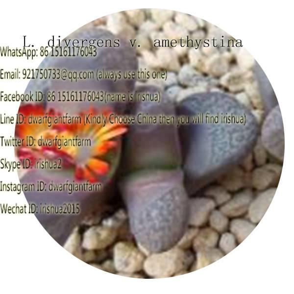 50pcs a set L. divergens v. amethystina seed 25usd