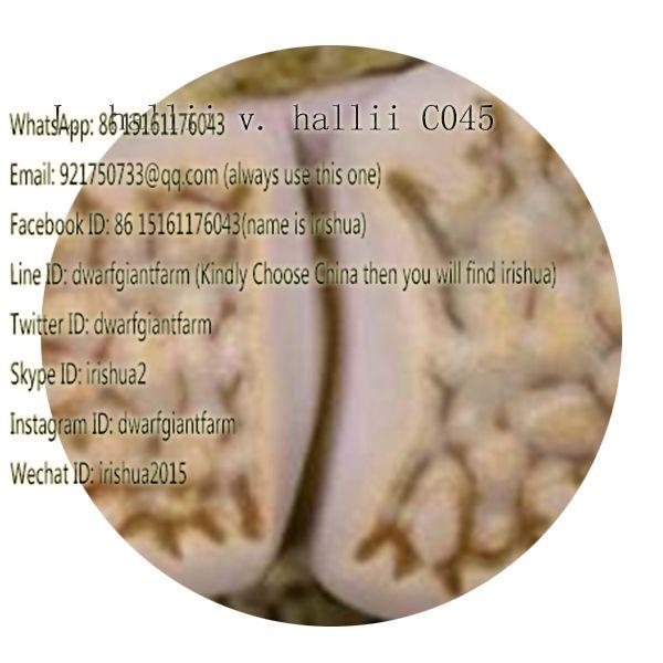 50pcs a set L. hallii v. hallii C045 seed 25usd