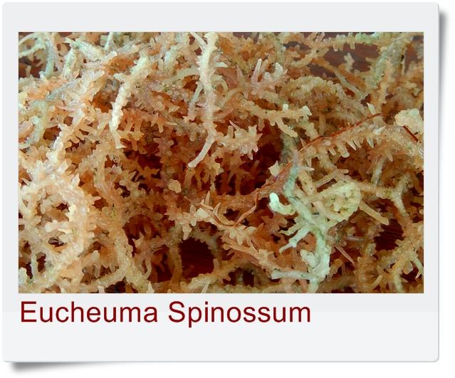 Eucheuma Spinossum