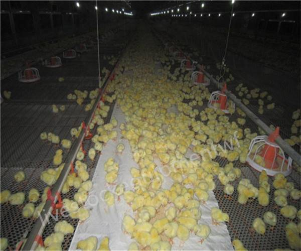 Automatic poultry farming equipment for broiler chicken