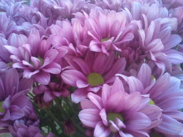 chrysanthemum moof Regan
