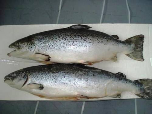 Frozen Whole Round Atlantic Salmon Fish