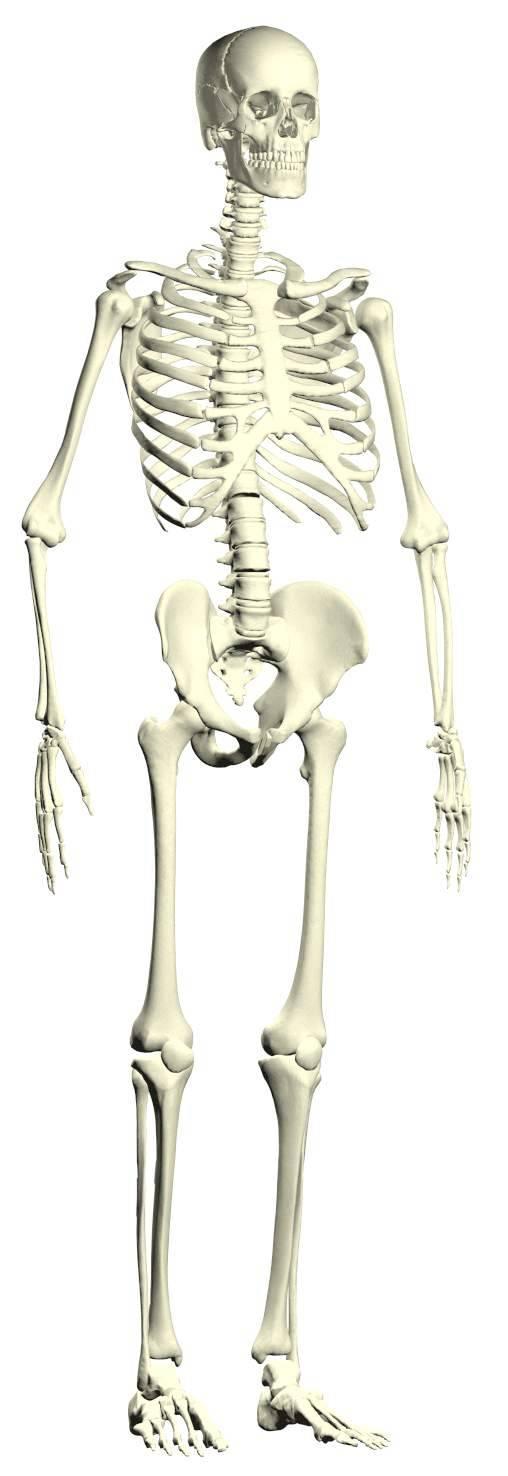 Anatomical Model Human Skeleton Model Medical Model Teaching