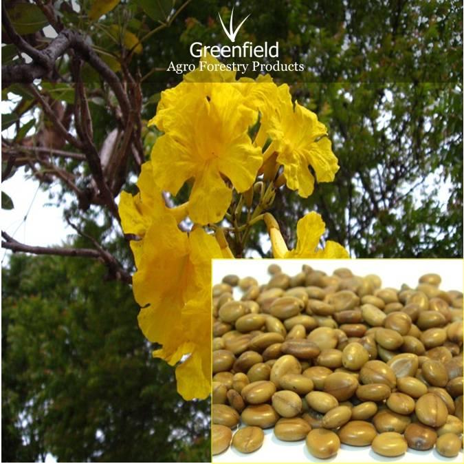 Amaltash ornamental tree Seeds ( Cassia fistula )