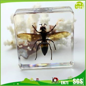 Preschool Educational Real Insect Tiger wasp for Teaching Aids