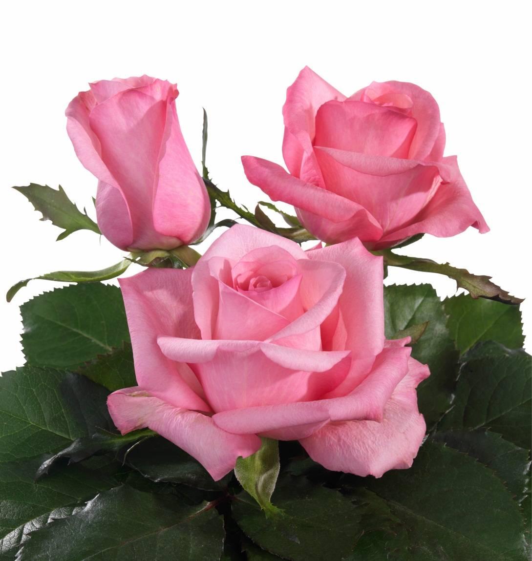 Lovely Jubilee pink rose