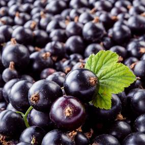 100%%natural black currant extract