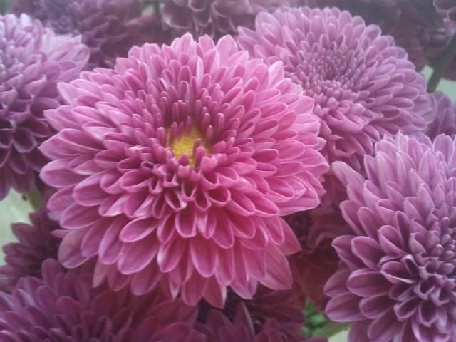 chrysanthemum  carmen moof