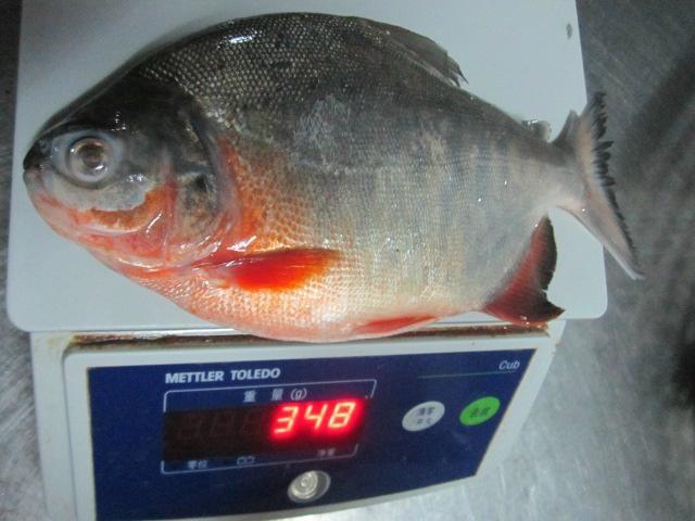 New seasom good quality Frozen Red Pomfret Fish pompano