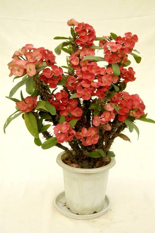 Euphorbia Milii CH. Des Moulins