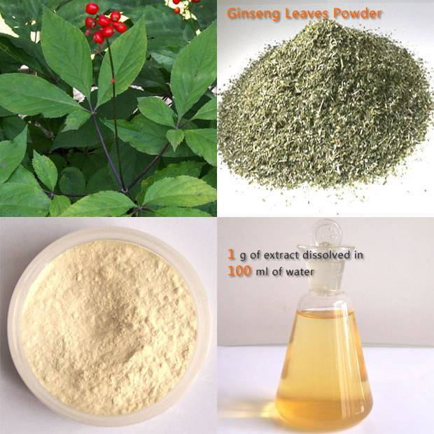 Panax Ginseng Leaf Extract Re>20%HPLC