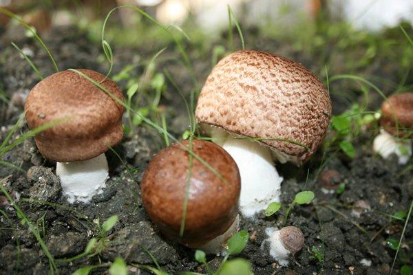 agaricus blazei murill extract