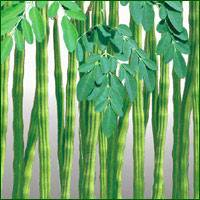 Moringa Oliefera Dried Leaf Powder