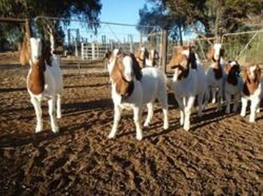 Boer Goats Pure Breed Alive