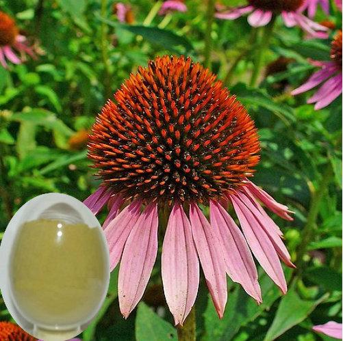 Echinacea Herb P.E (Cichoric acid 2%)