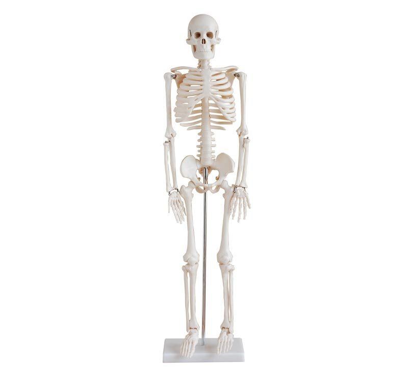 Human Skeleton Model 85cm Tall