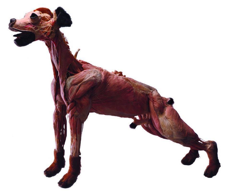The Nervous System of Dog