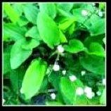 Ploygonum Cuspidatum50%-90%