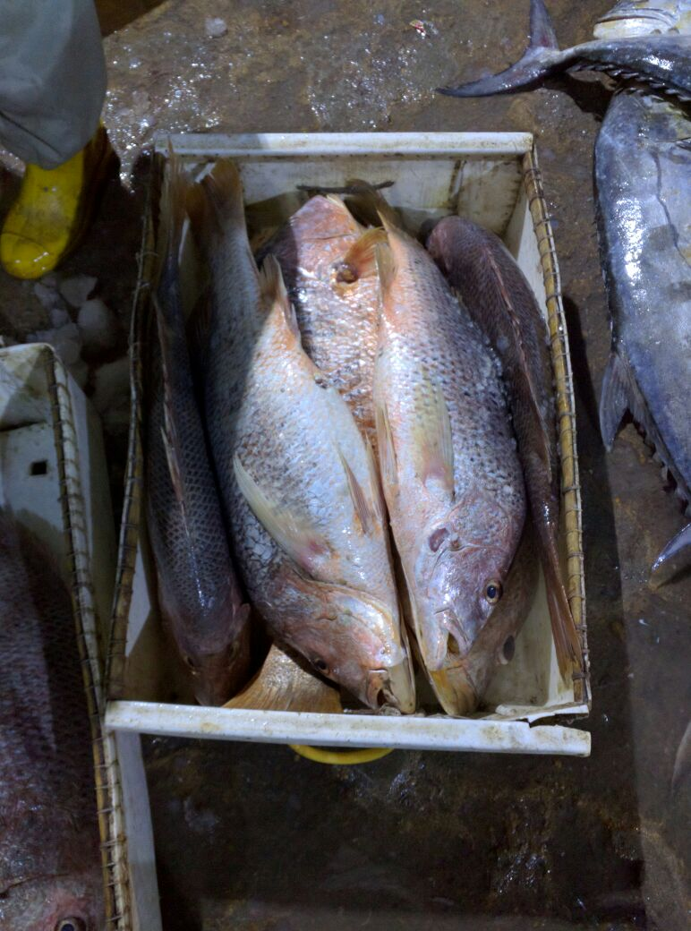 Fresh Red Snapper & Silver Snapper A+ Hook Line Caught