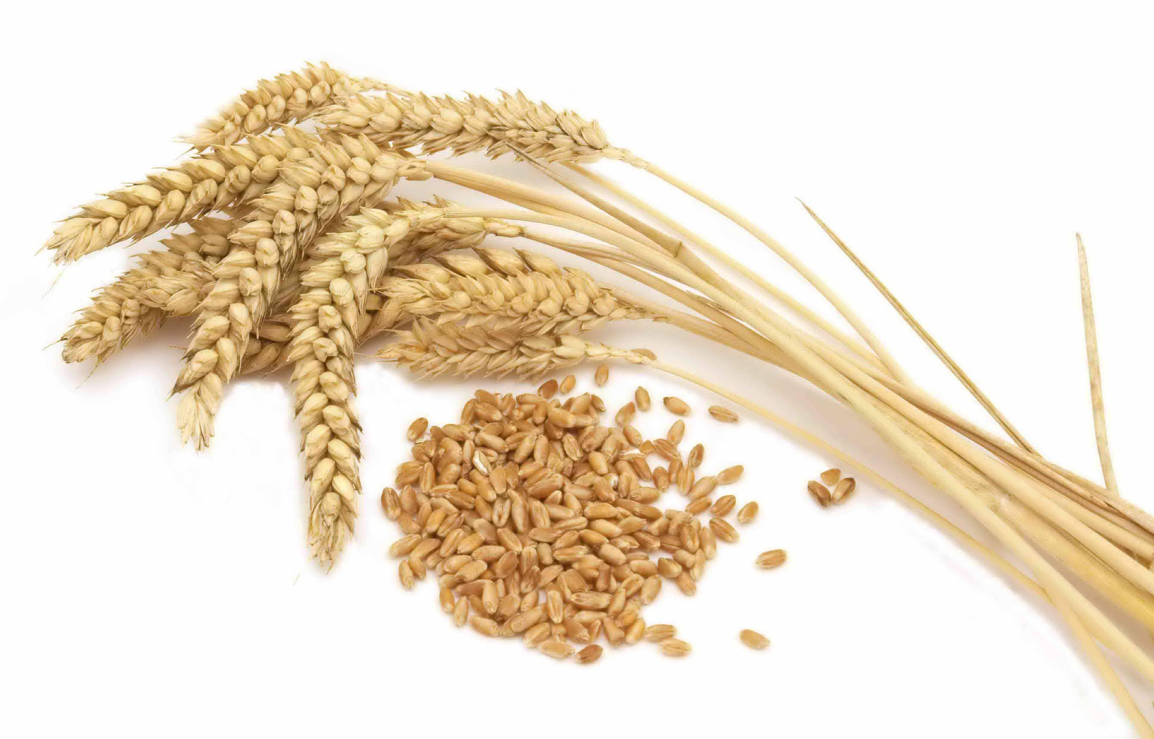 Hard wheat