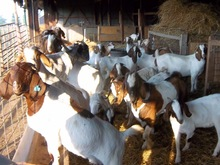 Boer Goats For Sell