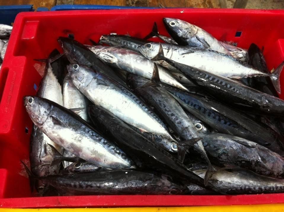 High Quality bonito mackerel