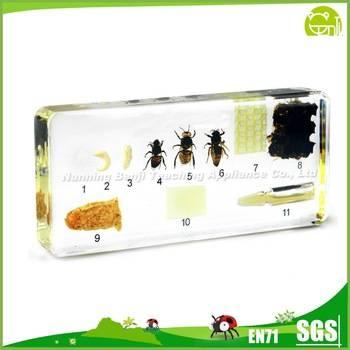 Honey Bee Life Cycle Specimen forChildren Study