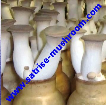 Best selling high yield low prices black fungus grow bottles