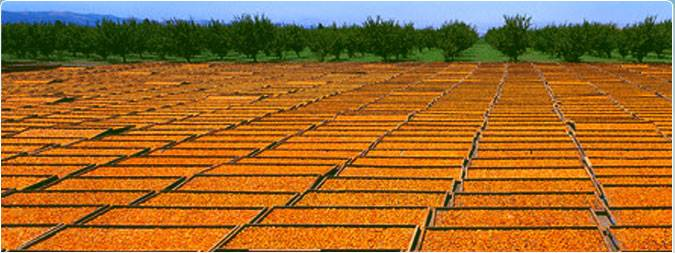 Dried Apricot Good price
