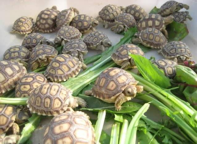Sulcata,Spider,Star and Leopard Tortoise for Sale