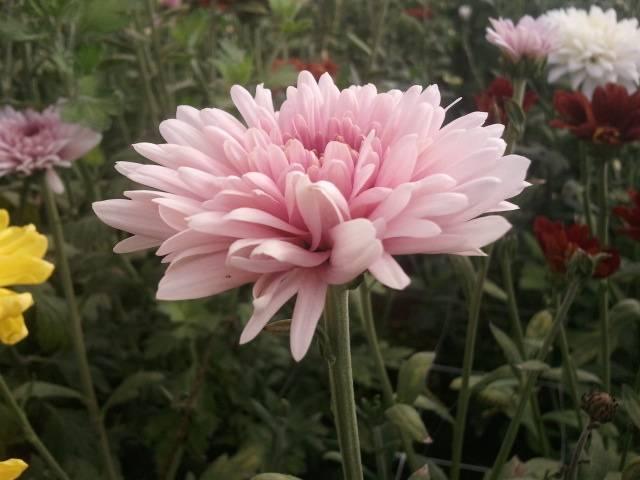 chrysanthemum calperia