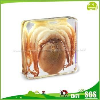 Biological Science Real Octopus Specimen