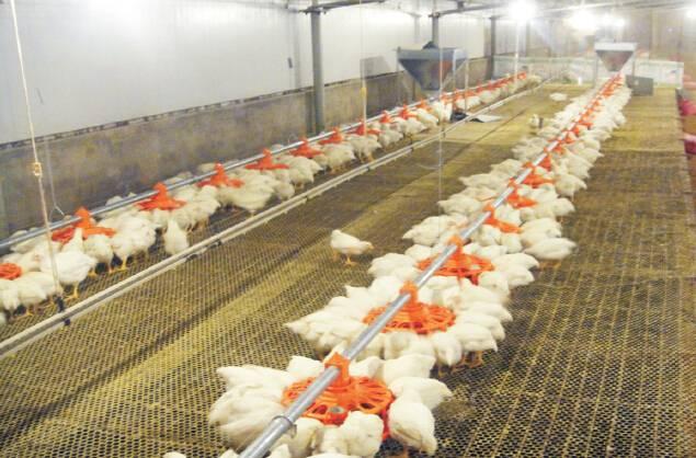 automatic breeder feeding loop