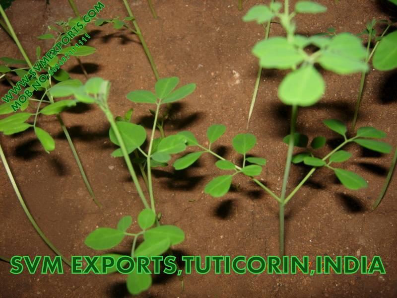 Best Moringa Oleifera Tea Cut Leaf Suppliers