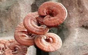Lucid Ganoderma Extract/Reishi Mushroom