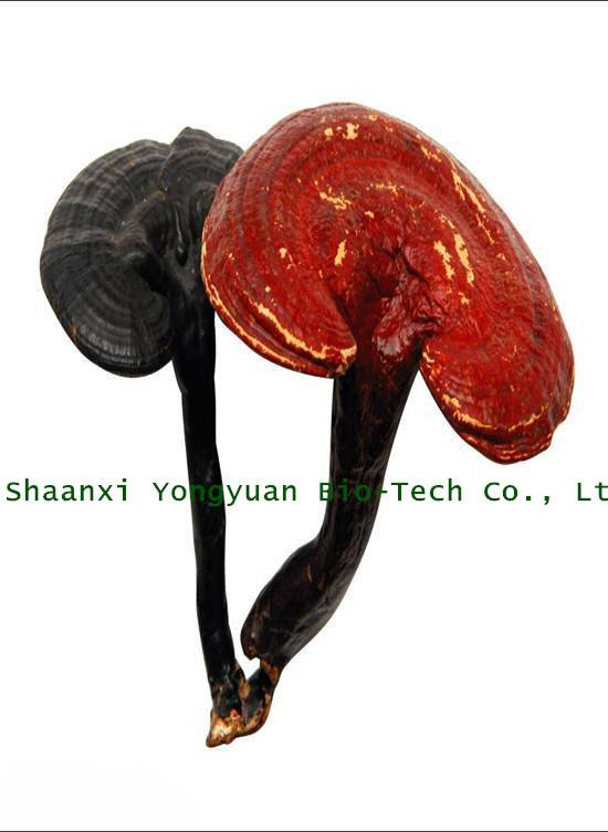 SALE AT A DISCOUNT! Reishi Mushroom Extract