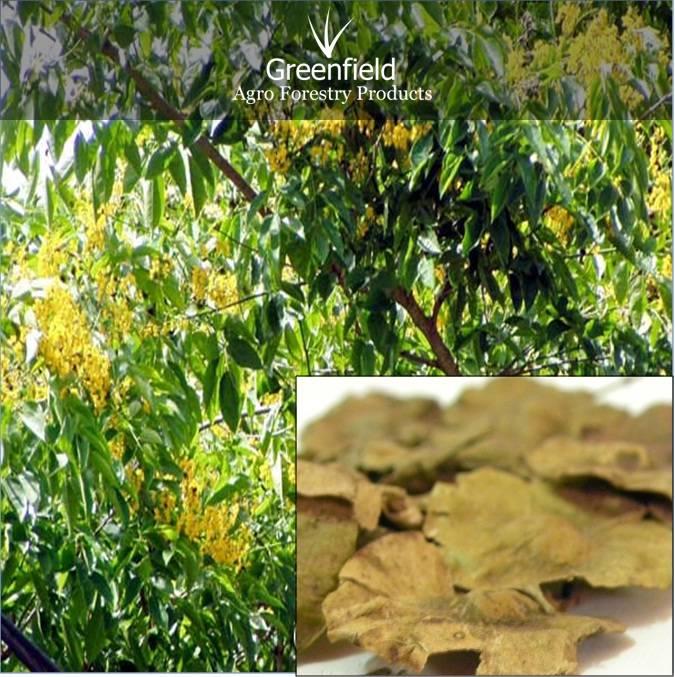 Beeja Forestry tree Seeds ( Pterocarpus marsupium )