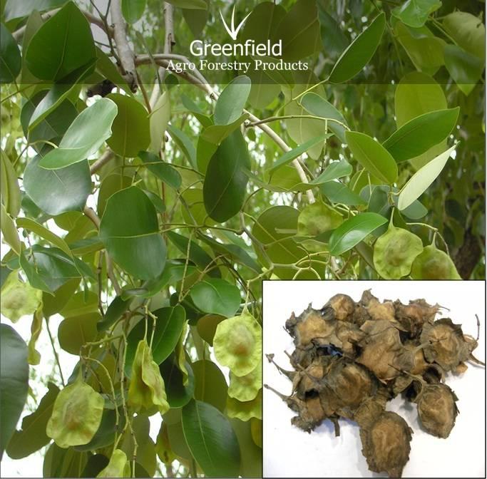 Red Sandal Forestry Tree Seeds ( Pterocarpus santalinus )