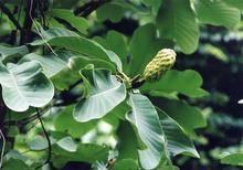 Magnolia officina P.E.