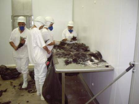 feathers  are sale at USD$ 45,00 per Kg.