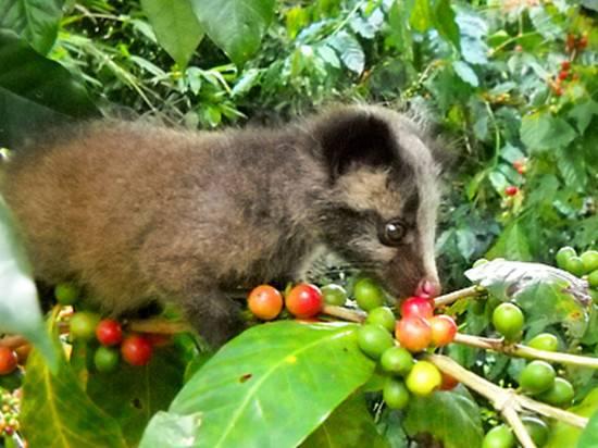 Raw Coffee beans civet cat coffee beans