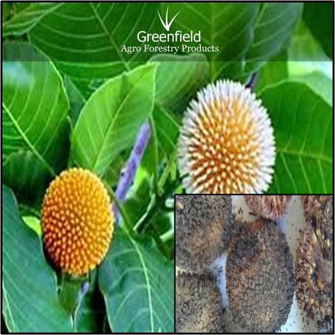 Kadam Ornamental Tree seeds ( Anthocephalus cadamba )