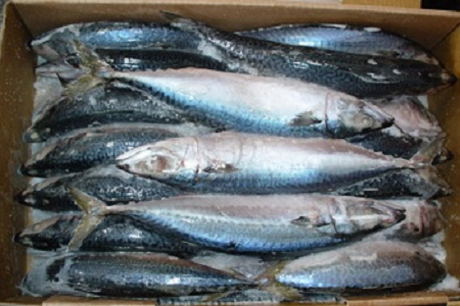 Fresh and Frozen Pacific and Atlantic Mackerel Fish