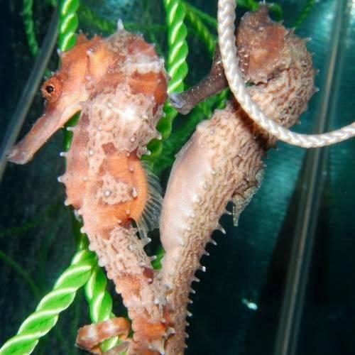 Seahorse - Hippocampus Spino
